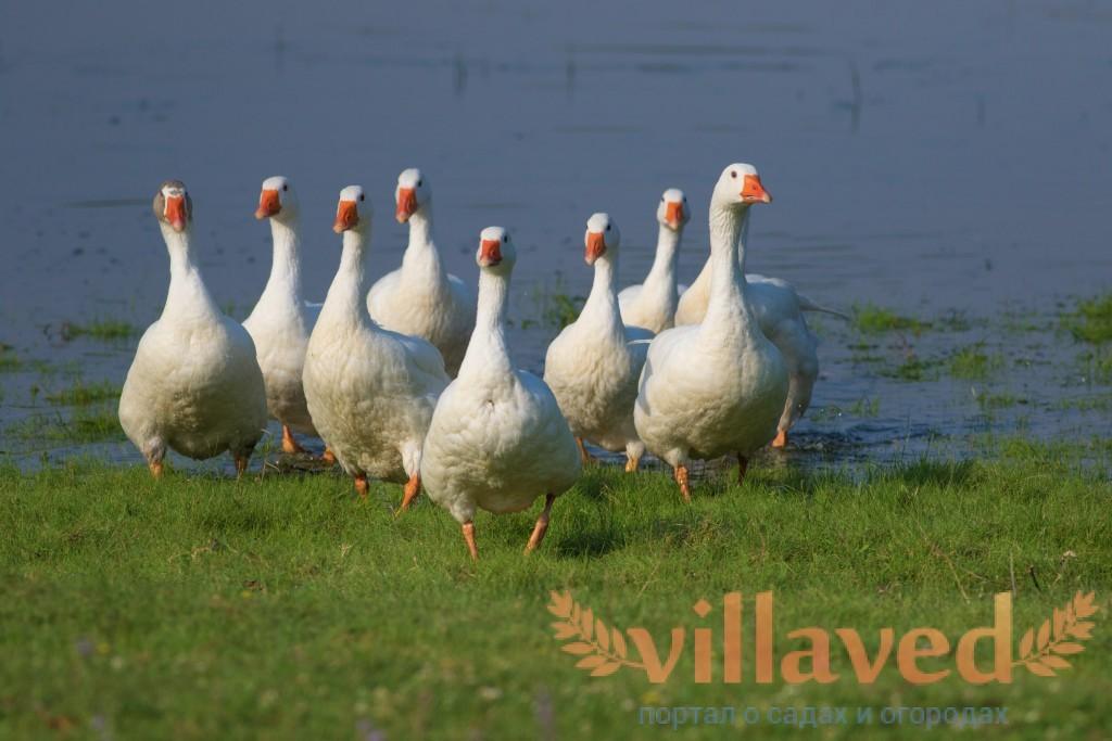 Особенности содержания и разведения венгерских гусей. Особенности породы Венгерские гуси