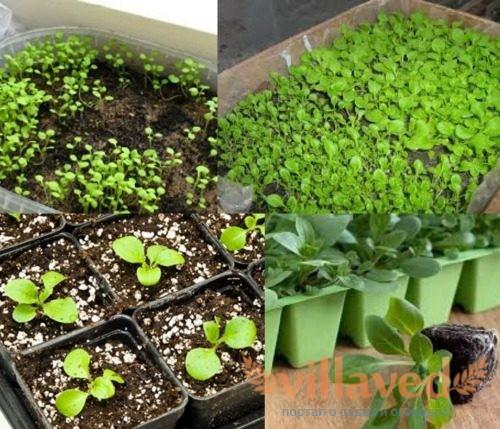 Рассада петунии посев и выращивание