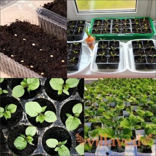 Как выращивать баклажаны на рассаду