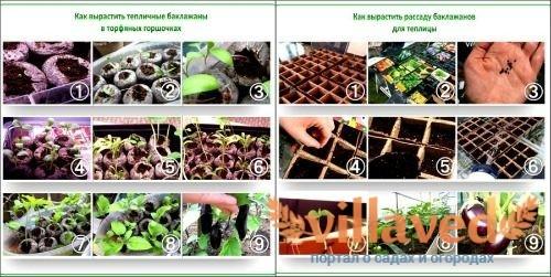 Как вырастить рассаду баклажанов дома