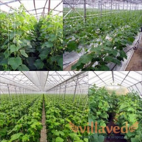 Тепличные огурцы выращивание