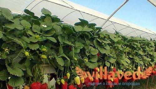 Клубника в теплице выращивание