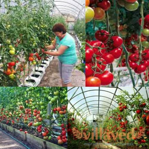 Выращивание тепличных помидоров