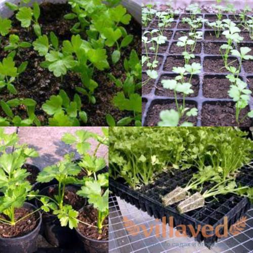 Как вырастить рассаду сельдерея в домашних условиях