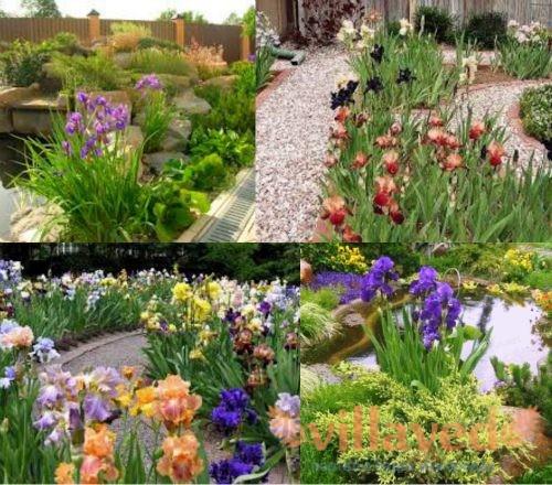 Ирисы в дизайне сада