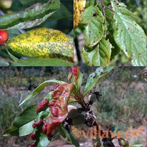 Болезни войлочной вишни: фото и описание