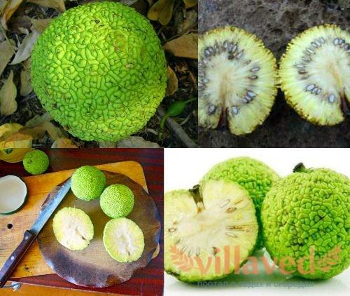 Адамово яблоко как хранить плоды