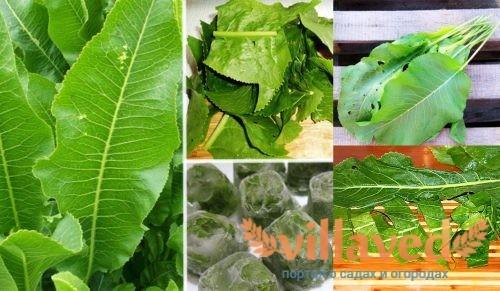 Хранение листьев хрена в холодильнике