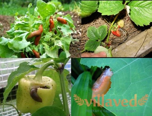 Слизни в огороде: вред и польза