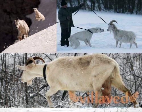 Выгул для коз зимой
