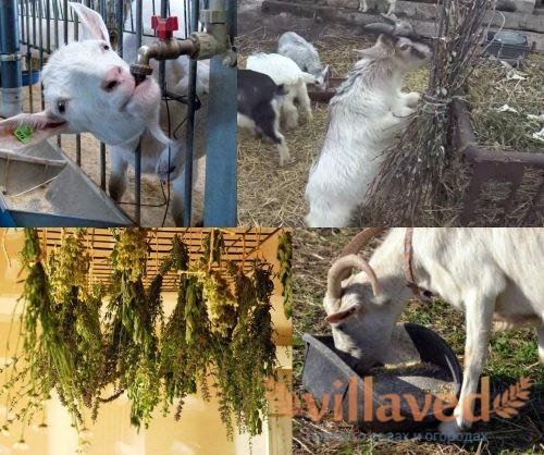 Чем лучше кормить козу зимой