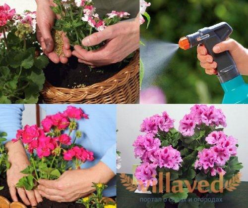 Как ухаживать за геранью весной