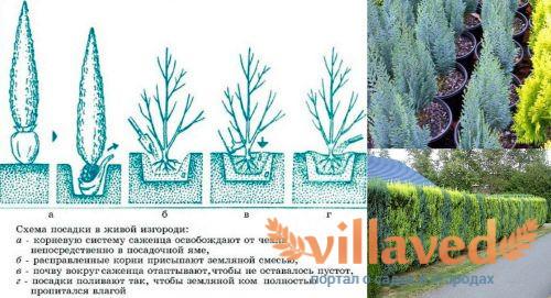 Как посадить кипарисовик