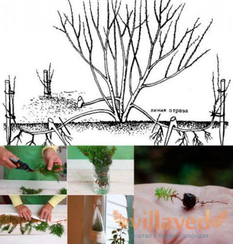 Размножение кипарисовика дома