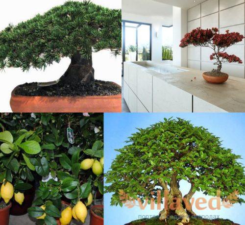 Выбор дерева для бонсай