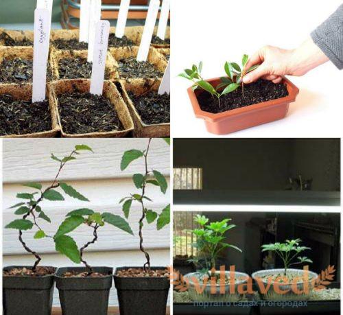 Выращивание бонсай из черенков