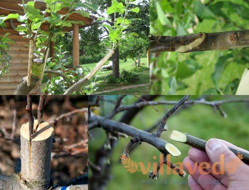 Прививка яблони летом