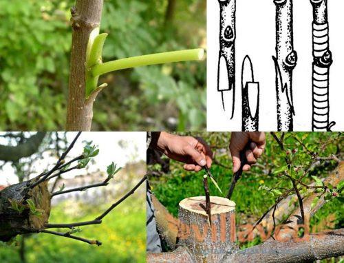 Методы прививки плодовых деревьев