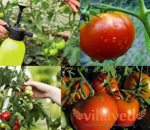 Чем подкормить помидоры во время плодоношения