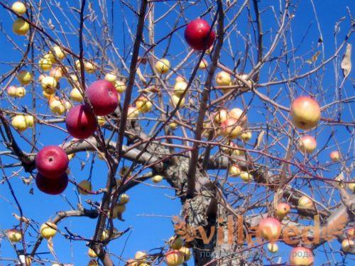 Как привить яблоню
