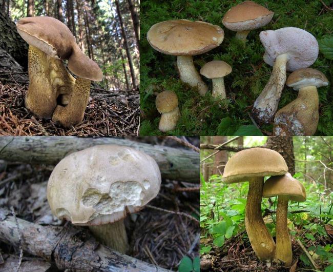 Где растет желчный гриб