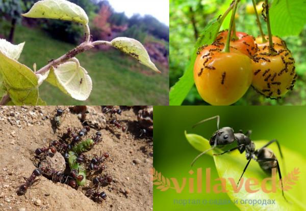 Вред муравьев для огорода