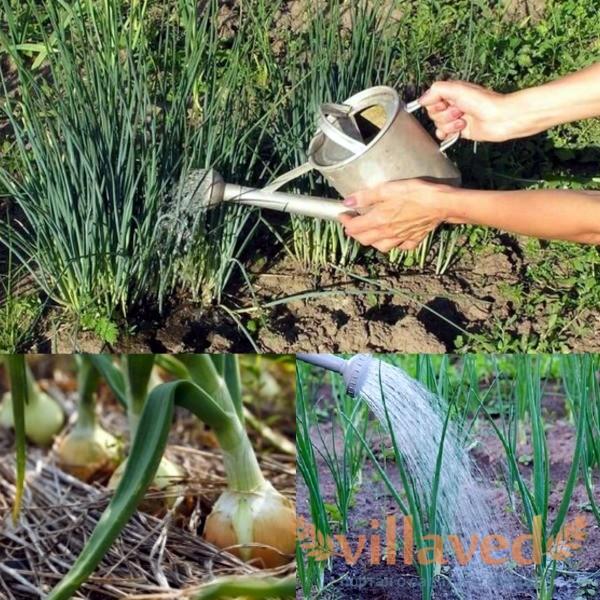 Как удобрять лук нашатырем