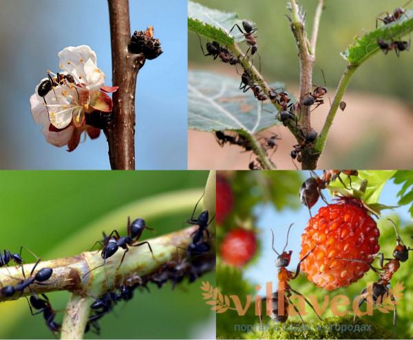 Вред муравьев на огороде