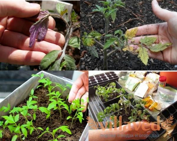 Дефицит азота и фосфора у рассады помидоров
