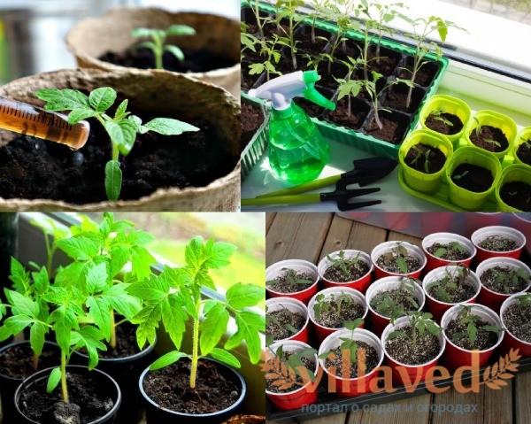 Когда подкармливать рассаду помидоров