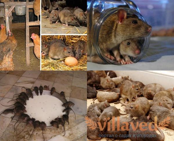 Крысы в сарае что делать