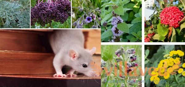 Какие растения отпугивают крыс