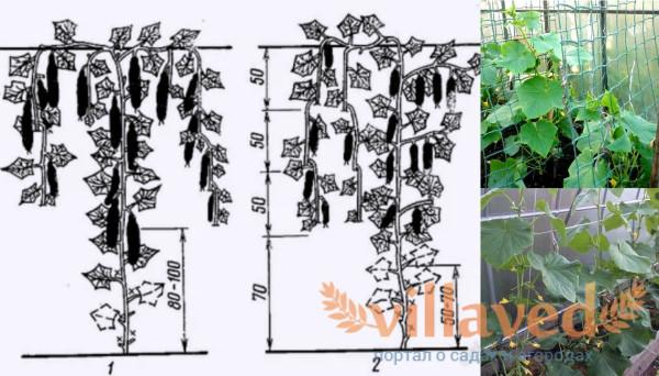 Схема формирования огурцов для новичков