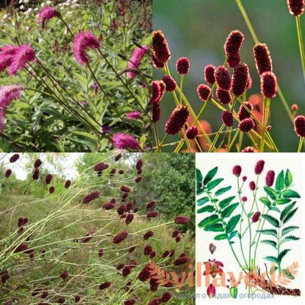 Растение кровохлебка лекарственная