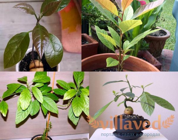 Режим освещения для авокадо