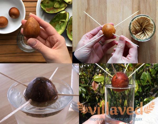 Как прорастить косточку авокадо в воде