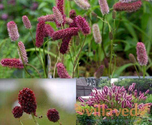 Цветы кровохлебки лекарственной