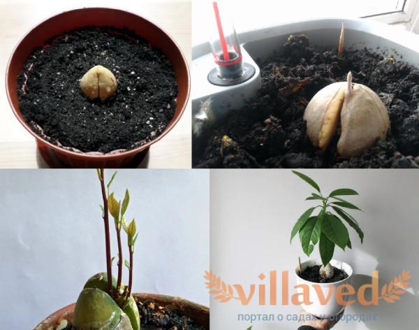 Проращивание авокадо в грунте