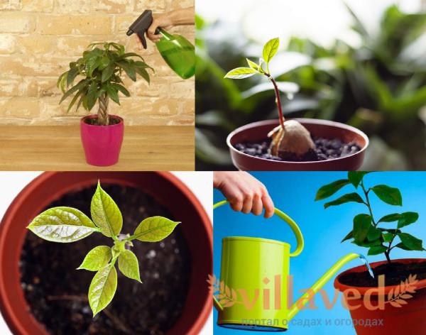 Как ухаживать за авокадо дома