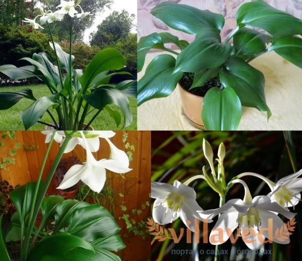Эухарис или амазонская лилия