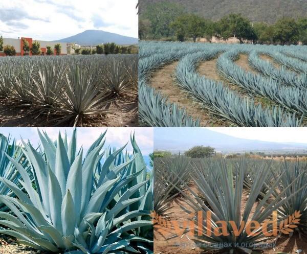 Голубая агава растение