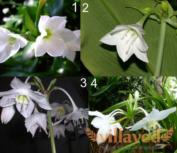 Лучшие сорта амазонской лилии
