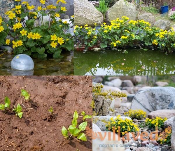 Калужница болотная выращивание