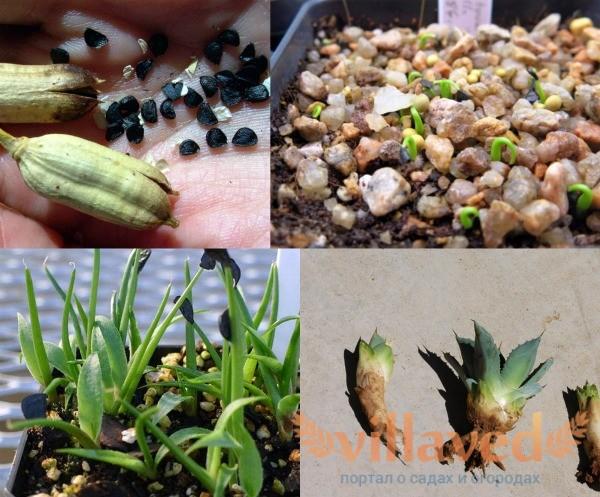 Как размножать голубую агаву