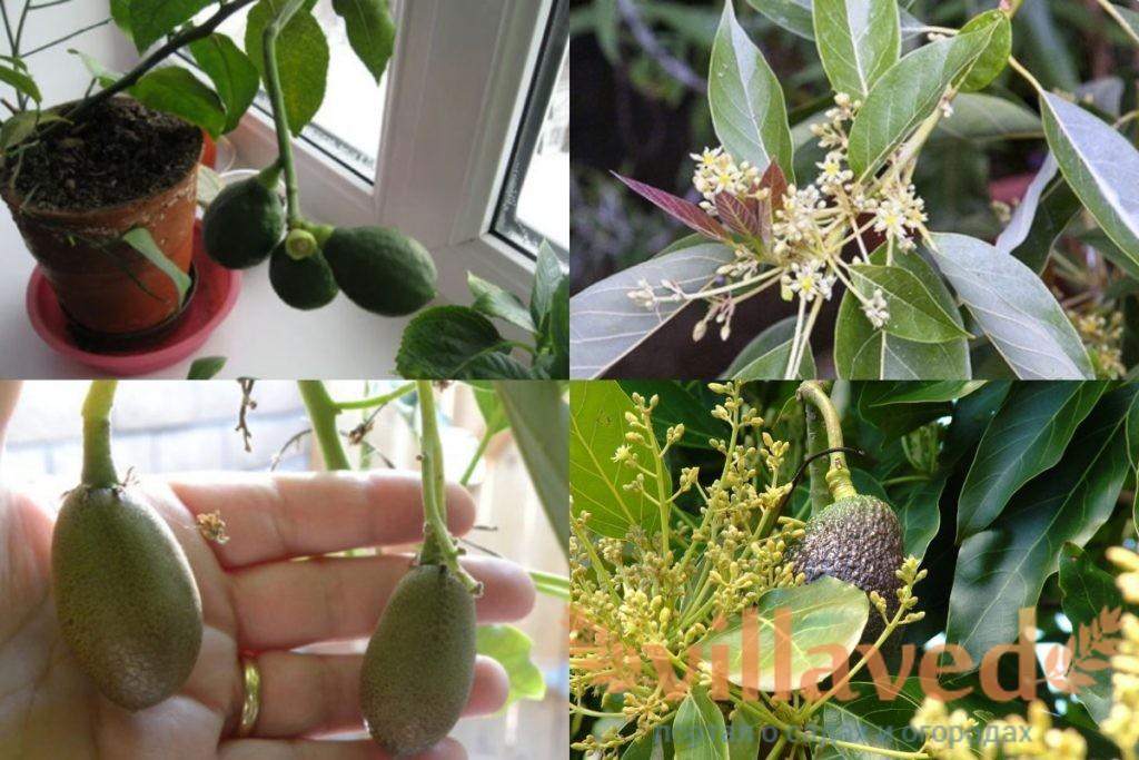 Цветение авокадо в домашних условиях