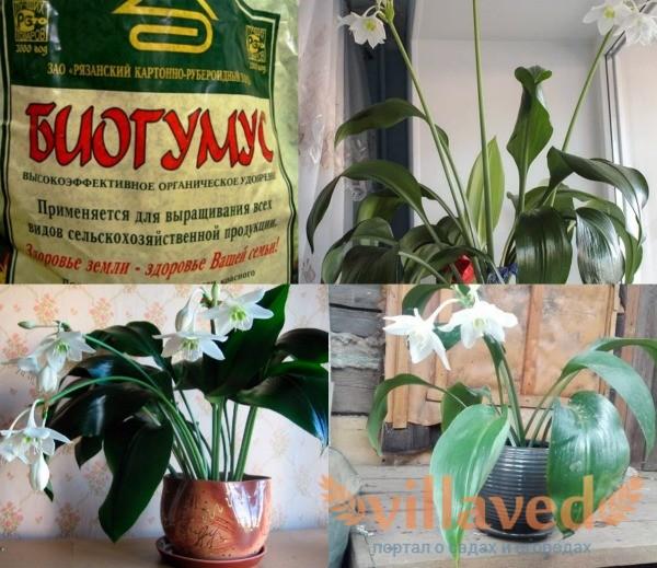 Подкормка для амазонской лилии