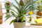Посадка ананаса дома