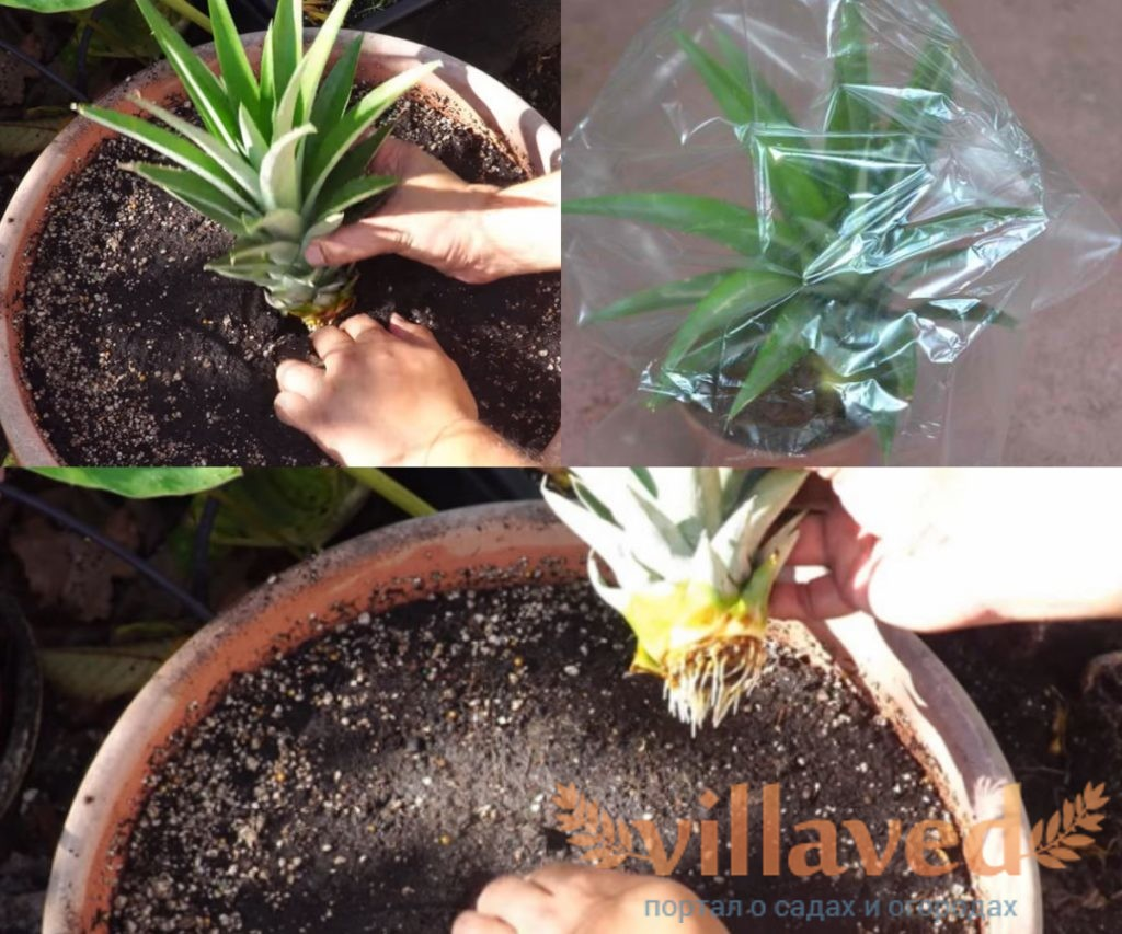 Посадка ананаса пошаговая инструкция