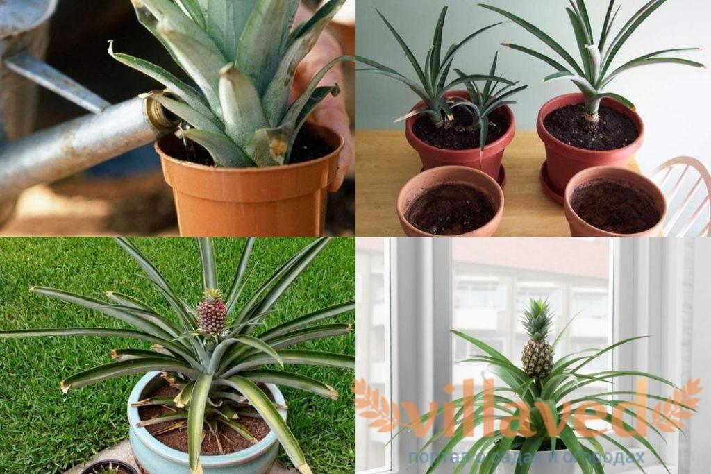 Уход за ананасом в домашних условиях