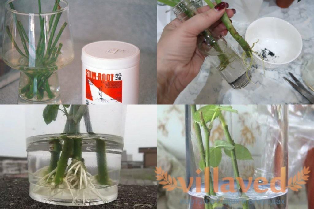 Как укоренить розу в воде